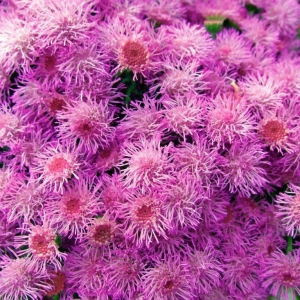 Агератум Пурпурный букет (сер. Сад ароматов)