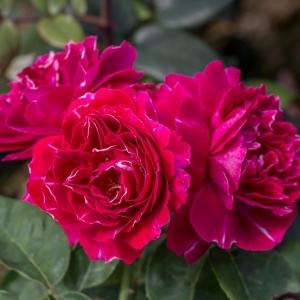 Роза Барон Жиро де Лен