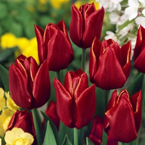 Тюльпан Абра