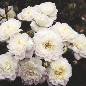 Роза Сноу Кап
