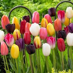 Тюльпаны Триумф, смесь