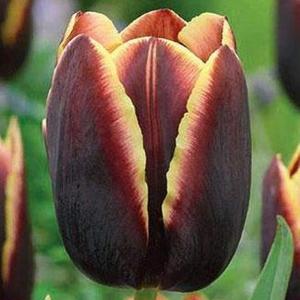Тюльпан Доберман