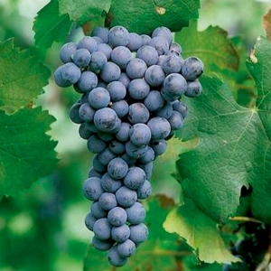 Виноград Рондо