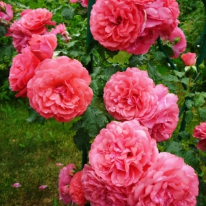 Роза Розариум Ютерсен штамбовая