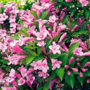 Вейгела цветущая Пинк Поппит