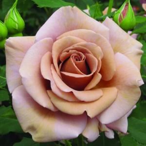 Роза Коко Локо WEEKS