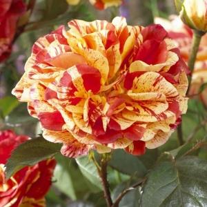 Роза Оранжес энд Лемонс штамбовая