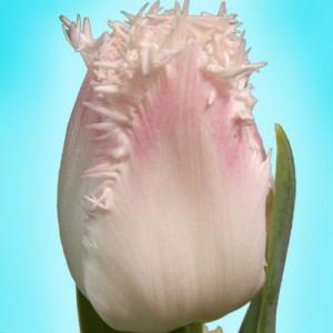 Тюльпан Галери