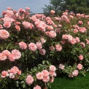Роза Боттичелли