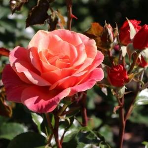 Роза Мелузина