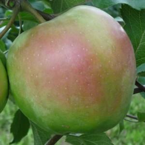 Яблоня Сакавита