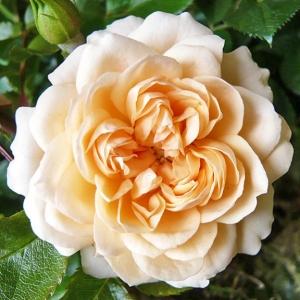 Роза Свит Меморис штамбовая