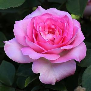 Роза Беверли KORDES