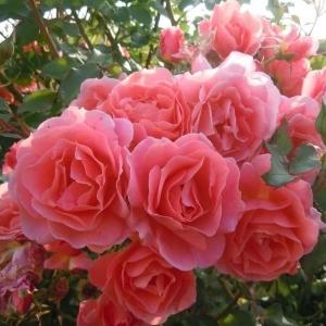 Роза Алибаба