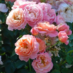 Роза Мария Кюри штамбовая