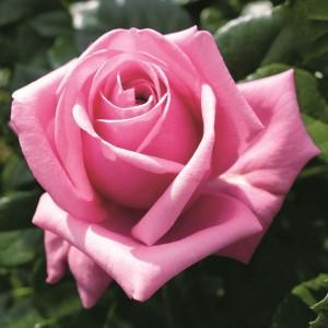 Роза Ромина