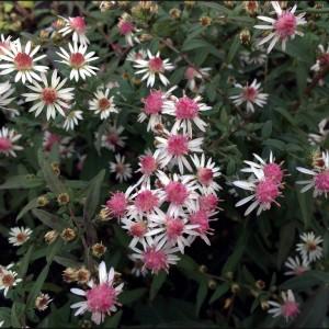 Астра бокоцветковая Горизонталис