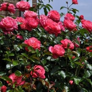Роза Розанна