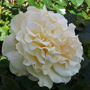 Роза Мисс Файн штамбовая