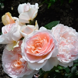 Роза Мэрхенцаубер