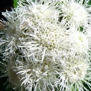 Агератум Белый букет (серия Сад ароматов)
