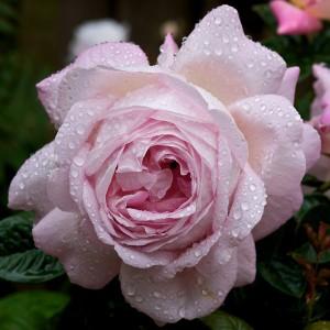 Роза Мирьям штамбовая