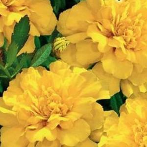 Бархатцы отклоненные Брокада желтая (Тагетес)