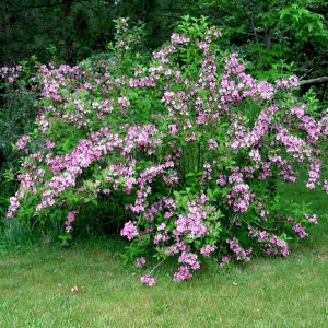 Вейгела Вариегата цветущая