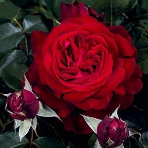 Роза Адмирал TANTAU