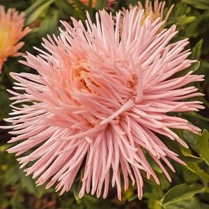 Астра Голиаф персиковый, игольчатая роз.- кремовая (серия Русский богатырь)