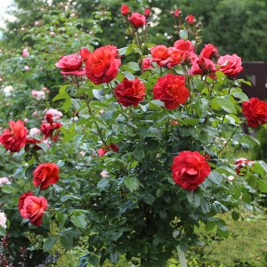 Роза Хот Чоколэт штамбовая