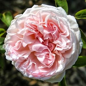 Роза Сейнт Свитчун