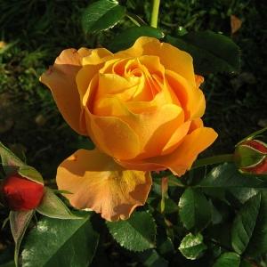 Роза Ибица