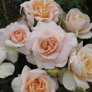 Роза Прайд энд Преджудис