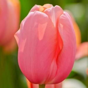 Тюльпан Ментон