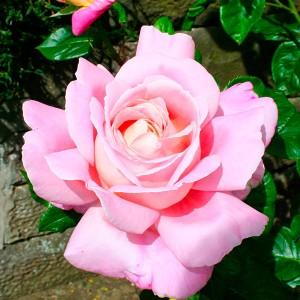 Роза штамбовая Мирьям