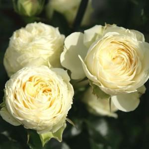 Роза Лемон Рококо TANTAU