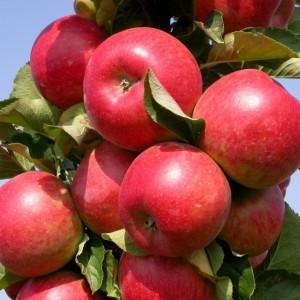 Яблоня Джин (узкопирамидальная)
