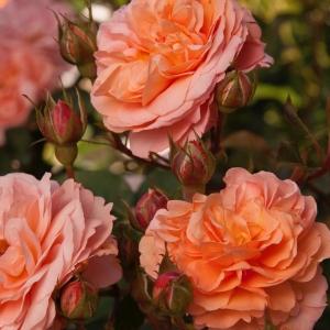 Роза Луи Клементс штамбовая
