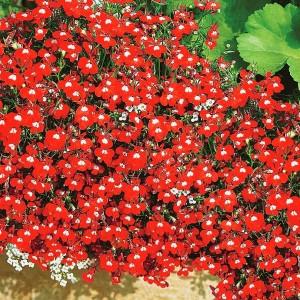 Лобелия Красный каскад
