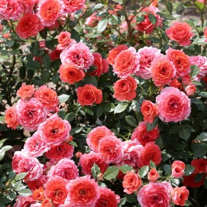 Роза Миами штамбовая