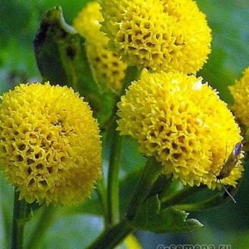 Хризантема партениум желтая