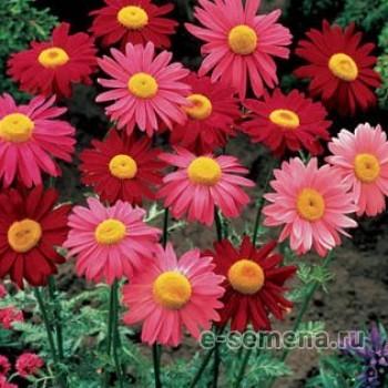 Хризантема пиретрум красная смесь