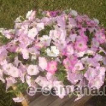 Петуния F1 Пикобелла розовая с белым  зевом