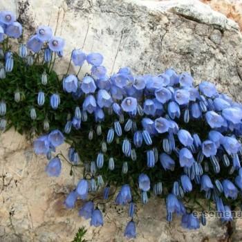 Колокольчик спиральнолистный синий