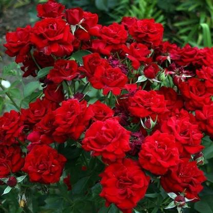 Роза Тайна от Procvetok