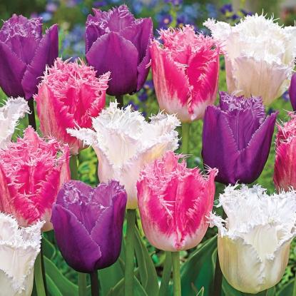 Тюльпаны Бахромчатые, смесь