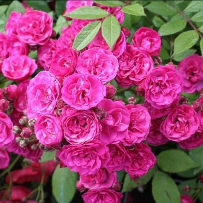 Роза Динки штамбовая