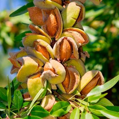 Миндаль Форос плодовый
