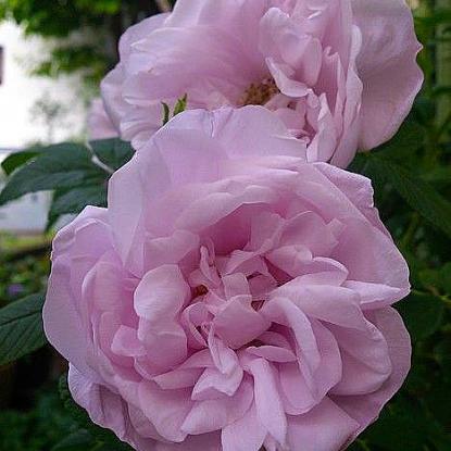 Роза Сноу Пейвмент